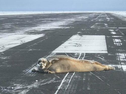 跑到機場跑道上的海豹。圖片來源:美國阿拉斯加州交通運輸部