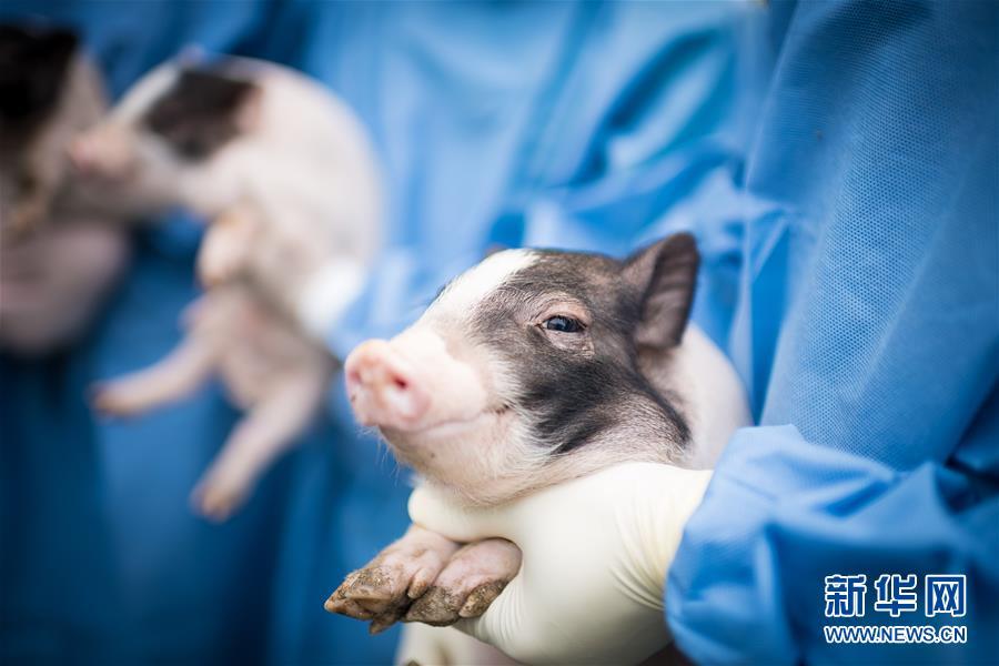 (科技)(1)世界首例神經疾病模型豬誕生
