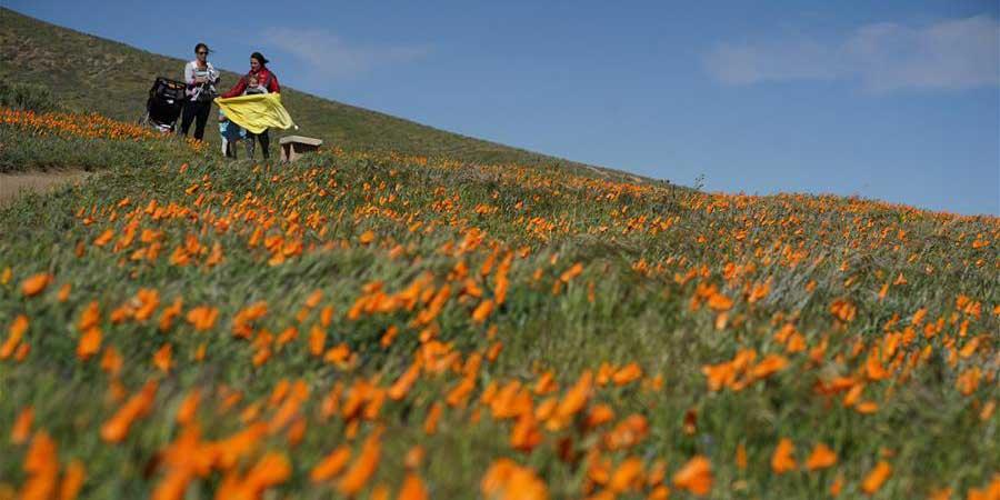 春到加州 山花爛漫