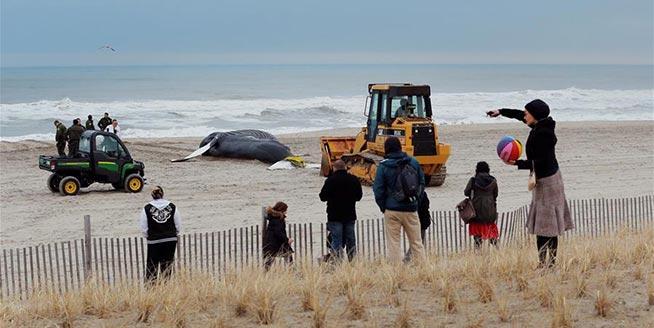 美國紐約:座頭鯨擱淺海灘