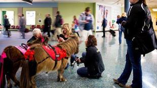 萌寵醫生來襲 辛辛那提機場用矮馬迎客