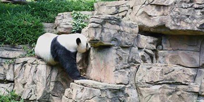 """走訪旅美大熊貓""""受虐""""傳聞發生地 一家三口""""一切安好"""""""