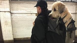 """地鐵不讓帶狗?背狗客上演""""狗袋""""計劃"""