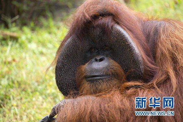 美國動物園猩猩心臟病去世 會美語手語