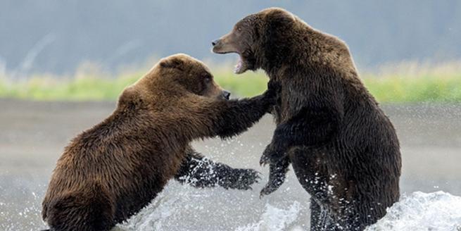 阿拉斯加母熊一言不合就掐架 水中上演拳擊賽