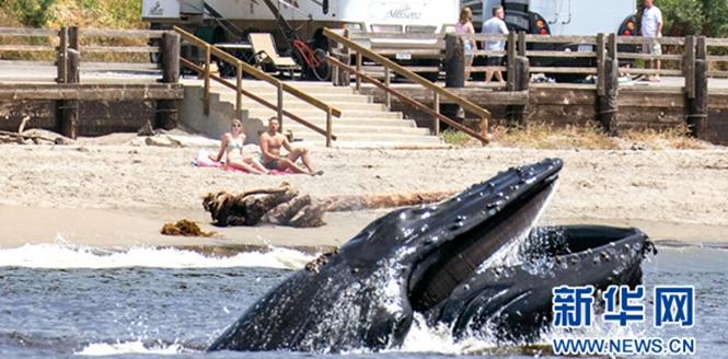 """美國加州鯨魚""""出海"""" 罕見畫面引遊客驚"""