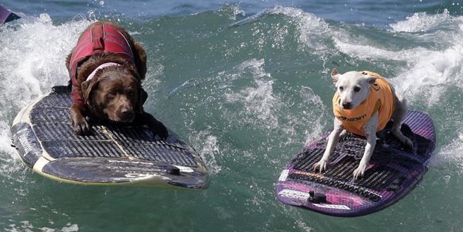 美國加州舉辦狗狗衝浪比賽 汪星人秀水上功夫