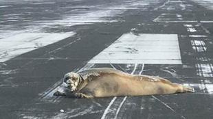 """你怎麼來的?美機場跑道遭大海豹""""攔路"""""""