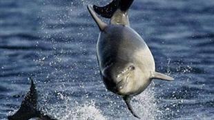 中美墨將聯手拯救小頭鼠海豚 僅剩30只