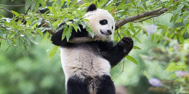 """一起來""""吸""""熊貓吧! 曬曬萌化歪果仁的熊貓寶寶"""