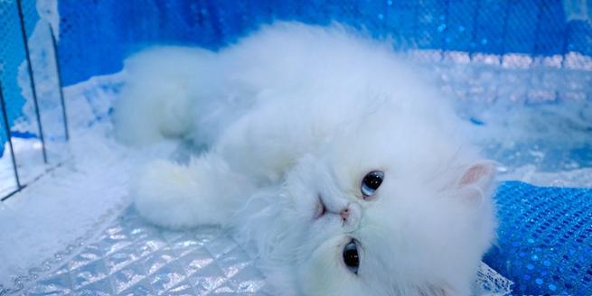 美國波特蘭舉行國際貓展 喵星小可愛爭相賣萌