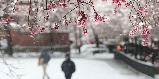 美國遭遇春季暴風雪 鮮花雪中綻放