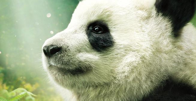 一起來吸熊貓 首部IMAX大熊貓紀錄片登陸北美